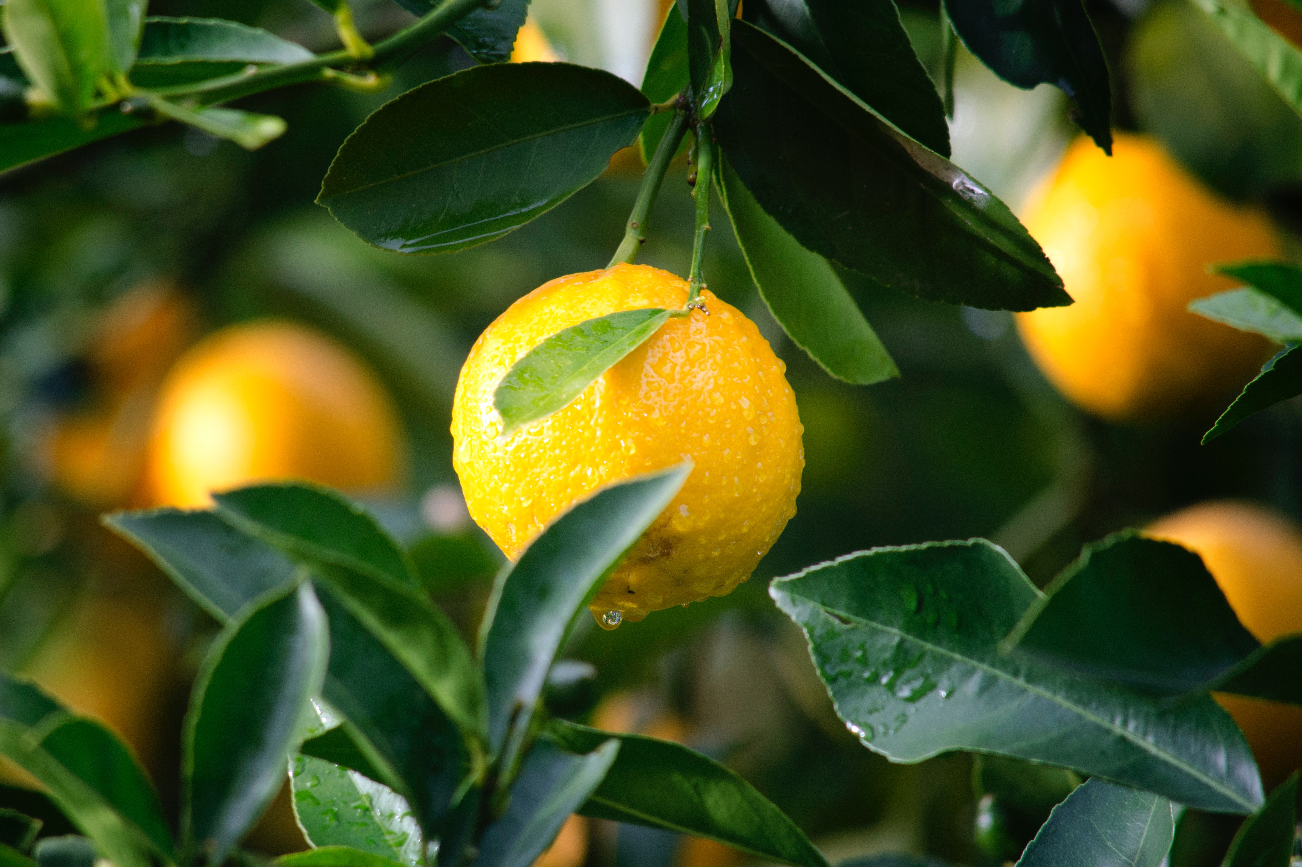 Upcycling citrus and tomato biomass for high value applications  [webinar]